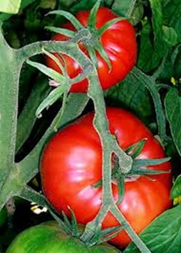 red tomatoes lg