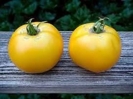 yellow tomatoes lg